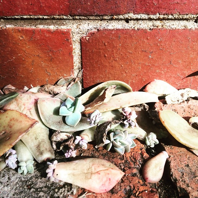 growing-succulents-from-leaf